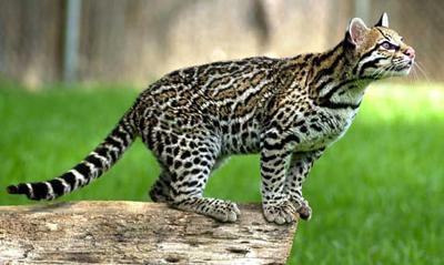 Оцелот или камышовый кот